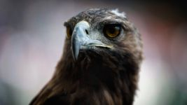 Attila the Eagle proves a lucky omen